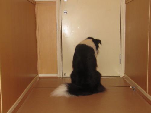 ボーダーコリー メル ドアの前で待つ-2