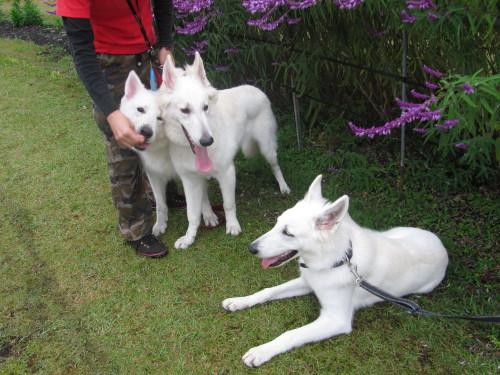 紫色の花の前で ホワイトスイスシェパード リサ、エース、ビオラ