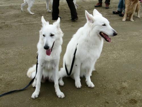 ホワイトスイスシェパード アルネとビオラ