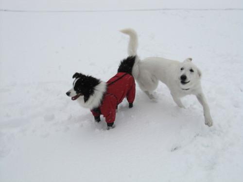 雪の中のホワイトスイスシェパード ビオラと、ボーダーコリー メル