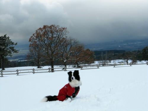 雪の中のボーダーコリー メル