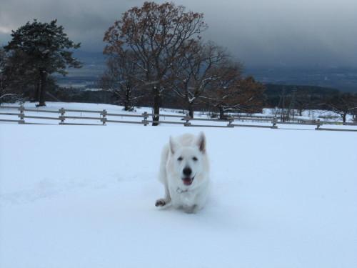 雪の中のホワイトスイスシェパード ビオラ