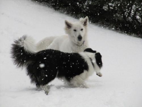 雪の中のホワイトスイスシェパード ビオラと ボーダーコリー メル