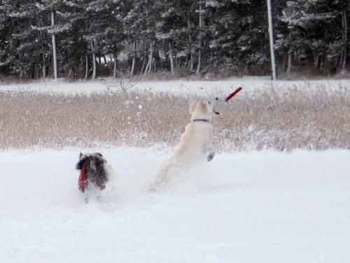 雪の中のフリスビー ホワイトスイスシェパード ビオラのキャッチの瞬間