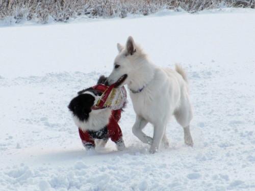 雪の中のフリスビー ビオラとメルの奪い合い