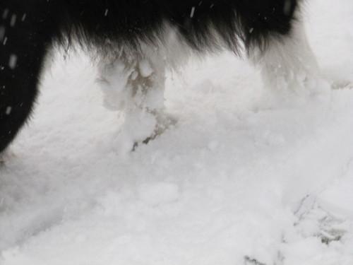 ボーダーコリー メル 前足に雪玉をぶら下げている