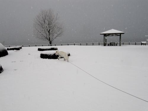 雪景色の公園 そして ホワイトスイスシェパード ビオラ