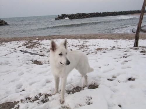ホワイトスイスシェパード ビオラ 弓ヶ浜の日本海をバックに①