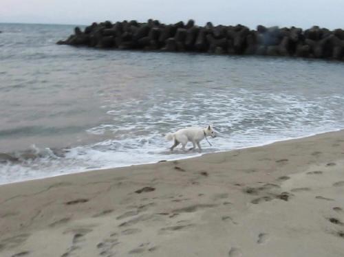 ホワイトスイスシェパード ビオラ 弓ヶ浜の海に入る