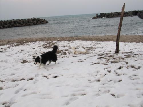 ボーダーコリー メル 弓ヶ浜の日本海をバックに②