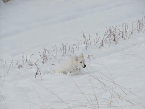 雪上を進むホワイトスイスシェパード ビオラ