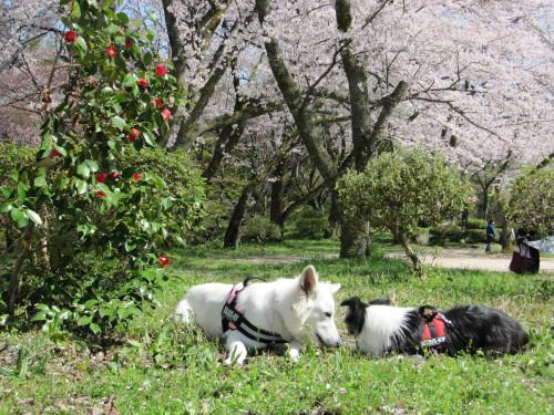 桜とビオラとメルと