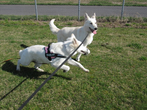 ホワイトスイスシェパード ビオラとヴァルターが走る 出雲空港公園にて ①