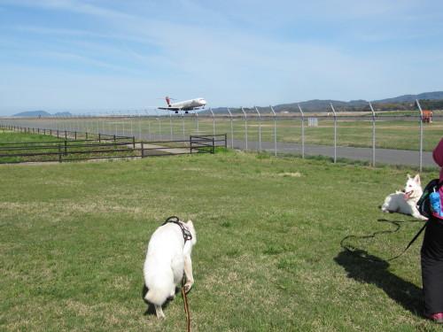 ホワイトスイスシェパード ビオラとヴァルター 飛行機の着陸