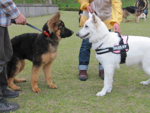ホワイトスイスシェパード ビオラと、ジャーマンシェパードの仔犬①