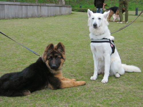 ホワイトスイスシェパード ビオラと、ジャーマンシェパードの仔犬②