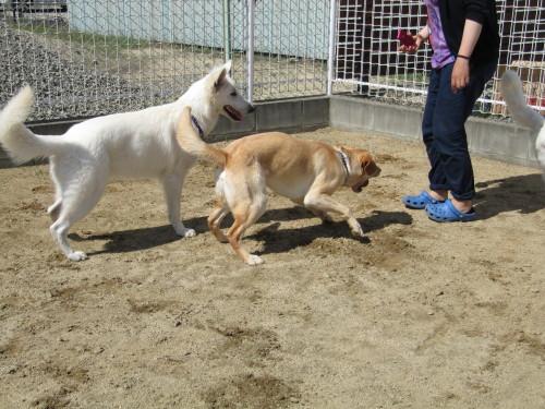 ホワイトスイスシェパード ビオラと、災害救助犬 アンバー