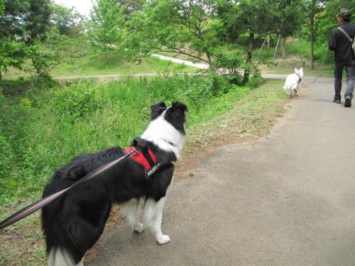 ホワイトスイスシェパード ビオラと、ボーダーコリー メル 公園内にて