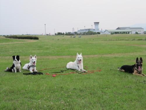 左からボーダーコリー メル、ホワイトスイスシェパード ビオラとヴァルター、ジャーマンシェパード ヤマト 空港公園にて