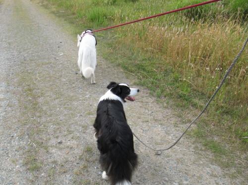 散歩するホワイトスイスシェパード ビオラと、ボーダーコリー メル
