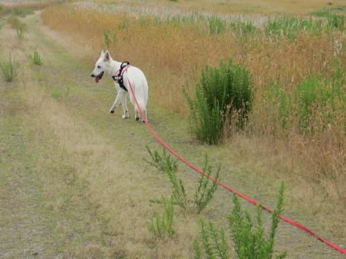 ゆくっりと歩く、ホワイトスイスシェパード ビオラ