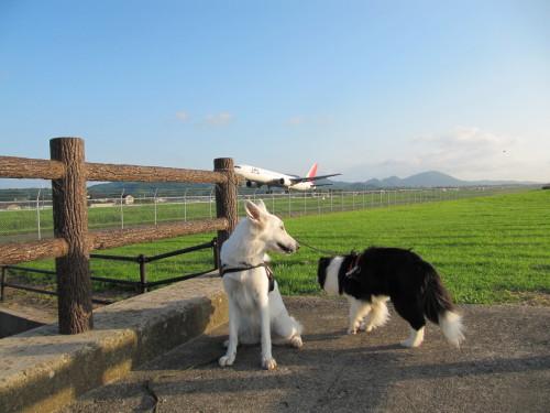 飛行機と一緒に ホワイトスイスシェパード ビオラ と ボーダーコリー メル