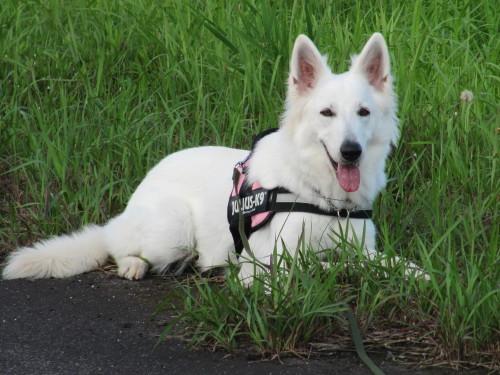 1歳3ヶ月の ホワイトスイスシェパード ビオラ