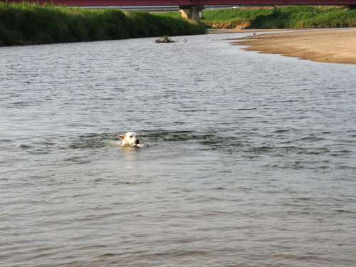 川を泳ぐホワイトスイスシェパード ビオラ