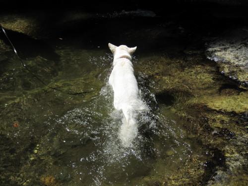 清流を泳ぐ ホワイトスイスシェパード ビオラ