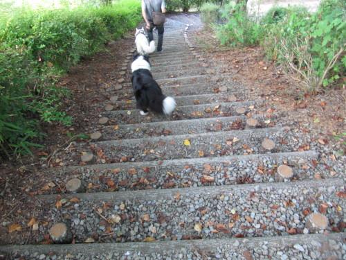 長い階段を下る ホワイトスイスシェパード ビオラと、ボーダーコリー メル