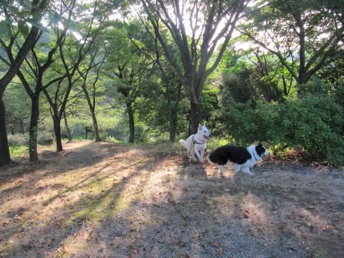 木漏れ日の中を散策する ホワイトスイスシェパード ビオラと、ボーダーコリー メル