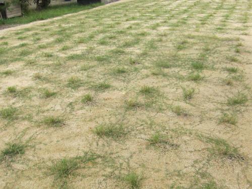 刈り取り後の芝生