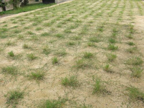 刈り取り前の芝生