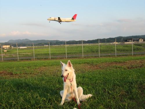 飛行機とホワイトスイスシェパード ビオラ