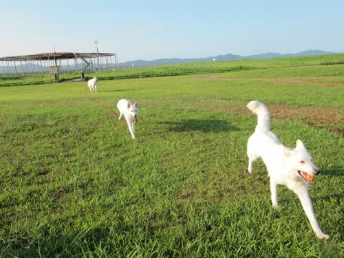 空港公園を駆けるホワイトスイスシェパード ヴァルター&ビオラ&タキオン