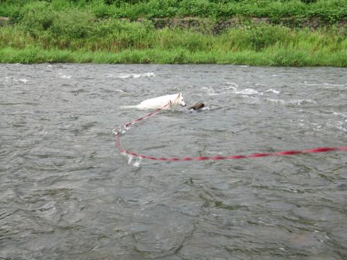 川の中の ホワイトスイスシェパード ビオラ ①