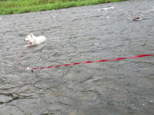 川の中の ホワイトスイスシェパード ビオラ ②