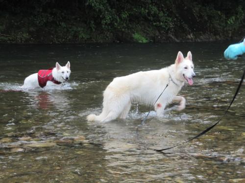 川の中の ホワイトスイスシェパード ビオラ と ヴァルター