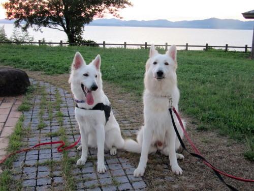 宍道湖を背景に ホワイトスイスシェパード ビオラ と ヴァルター