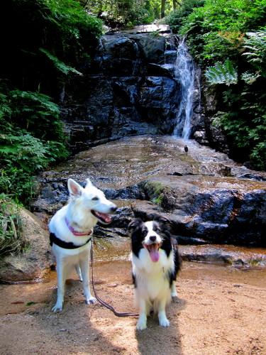 滝を背景に ホワイトスイスシェパード ビオラ と ボーダーコリー メル