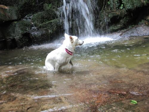 滝の前にて ホワイトスイスシェパード ビオラ ②