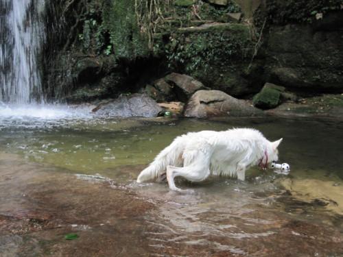 滝の前にて ホワイトスイスシェパード ビオラ ①