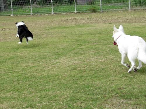 走る ボーダーコリー メル と ホワイトスイスシェパード ビオラ