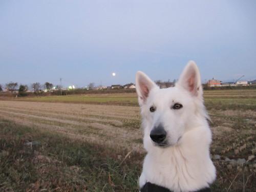 月とホワイトスイスシェパード ビオラ