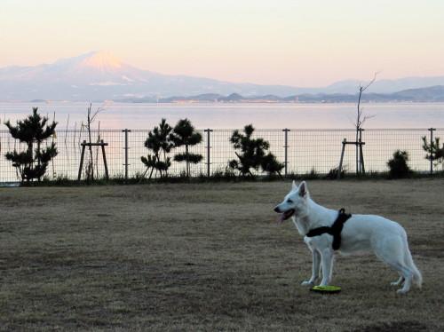 大山と中海を背景に ホワイトスイスシェパード ビオラ