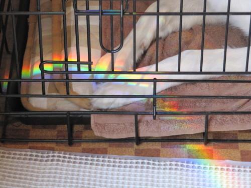 ホワイトスイスシェパード ビオラ の手にかかる虹②