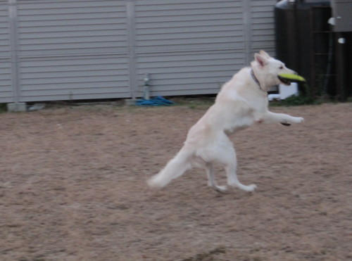 ジャンプするホワイトスイスシェパード ヴァルター