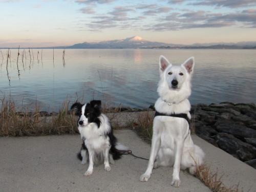 大山を背景に ホワイトスイスシェパード ビオラ と ボーダーコリー メル