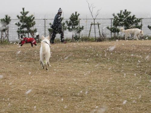 ぼたん雪の中でボーダーコリー メル と ホワイトスイスシェパード ビオラ と ヴァルター
