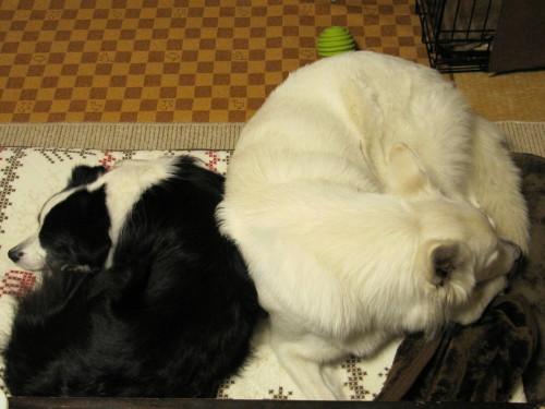 仲良く睡眠 ホワイトスイスシェパード ビオラ と ボーダーコリー メル①